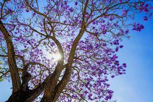 Hoa phượng tím nở rộ trên đường phố Đà Lạt làm say lòng du khách