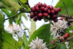 Giá cà phê hôm nay 19/4: Thế giới tăng trong sự thận trọng, trong nước hướng tới mốc 33 triệu đồng/tấn