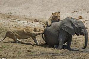 Hai con sư tử đói quỷ quyệt khiến voi mất mạng nhanh chóng
