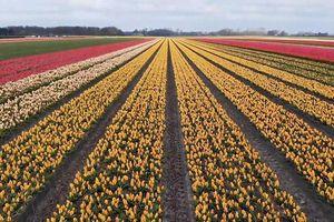 Chiêm ngưỡng 'biển hoa tulip' rực rỡ tại Hà Lan