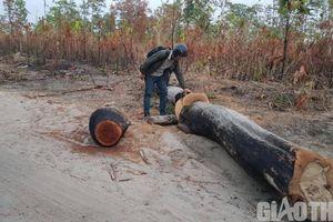 Phá rừng công khai, trách nhiệm của ai?