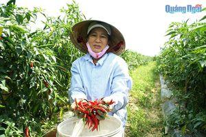 Thấp thỏm bên ruộng ớt