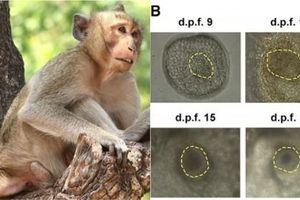 Lần đầu tiên trên thế giới nuôi cấy thành công phôi lai giữa người và khỉ