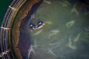 Người Việt Nam sắp có cơ hội khổng lồ Beluga 'siêu hiếm'