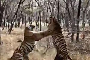 Hổ dữ ác chiến kinh hoàng để bảo vệ lãnh thổ