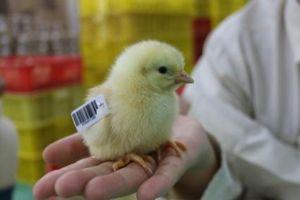 Ứng dụng công nghệ thế giới trong cải tiến gà lông màu tại Dabaco