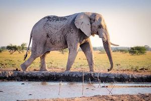 1001 thắc mắc: Vì sao voi có thể toát 500 lít mồ hôi mỗi ngày?