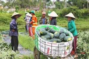Dưa hấu được mùa được giá, nông dân xứ Quảng rào rào ra đồng thu hoạch, lãi chục triệu đến trăm triệu