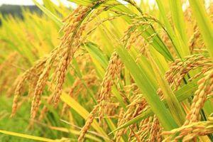 Giá lúa gạo hôm nay 22/4: Giá lúa gạo ổn định ở mức thấp so với đầu tháng 3
