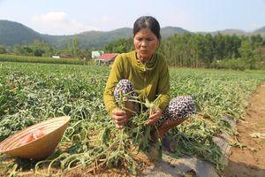 Kẻ xấu phá hoại hàng ngàn gốc dưa hấu của nông dân Quảng Nam