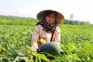 Điều tra vụ phá hoại dưa hấu ở Quảng Nam