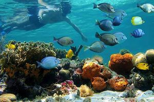 Phục hồi thành công san hô trên nền đáy tự nhiên và nhân tạo