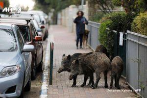 Kỳ lạ thành phố con người sống cùng với... lợn rừng