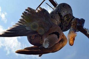 Rợn người trăn khủng tóm gọn, nuốt chửng chim trong 'nháy mắt'