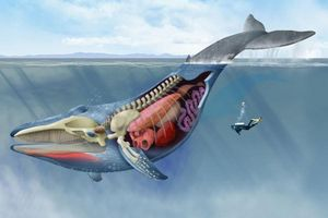 Vì sao cá voi có thân hình khổng lồ?