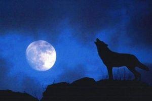 Giải mã tiếng tru rợn người của chó sói