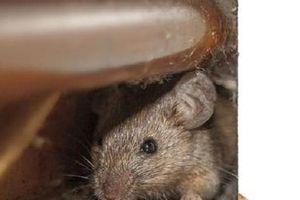 Thảm họa 150 triệu con chuột đói khát 'khủng bố' các khu dân cư ở Anh