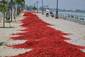Quảng Ngãi: Giá ớt tụt dốc không phanh, người trồng điêu đứng