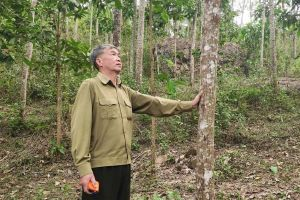 Cây 'thoát nghèo' ở Thanh Hóa trồng 10 năm chỉ to bằng bắp chân