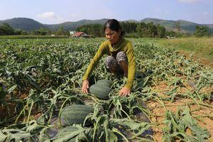 Quảng Nam: Gần 1.500 gốc dưa hấu tới kỳ thu hoạch bị phá hoại