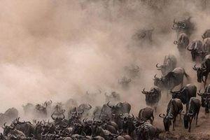 Hoảng loạn khi vượt sông, hàng trăm linh dương đầu bò tự tàn sát đồng loại