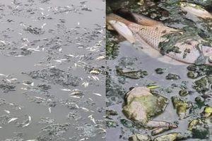 Cá chết bốc mùi tanh nồng tại hồ điều hòa Công viên Trung tâm thành phố Vinh
