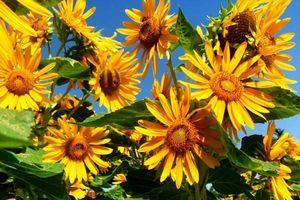 3.475 cây hoa hướng dương khoe sắc ở Làng nghề Trường Sơn