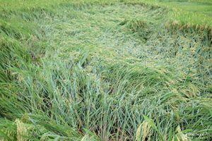 Hàng trăm ha lúa xuân ở Nghệ An đổ rạp sau mưa lớn