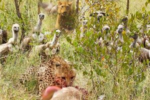 Trắng trợn cướp con mồi từ báo săn, bầy kền kền bị 'nghiệp quật' ngay tức thì