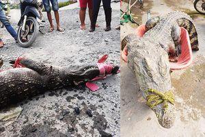 Bình Chánh: Dân bắt được hàng tạ cá sấu ở ngoài tự nhiên