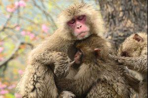 Núi khỉ ở Nhật Bản
