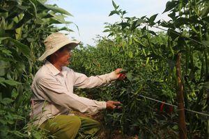 Nông dân Quảng Nam lao đao vì ớt rớt giá thê thảm