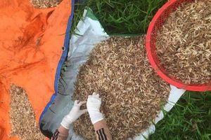 Vớt loại côn trùng sống vật vờ ngoài sông Hồng, ngư dân kiếm cả triệu đồng mỗi đêm