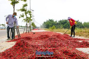 Ớt rớt giá, nông dân thu hoạch phơi khô chờ giá phục hồi
