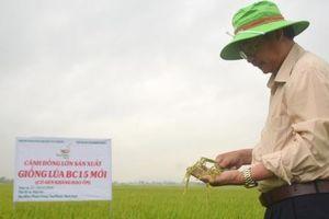 BC15 và mối lương duyên với nông dân Bình Định