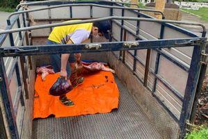 Vĩnh Phúc: Bắt vụ vận chuyển lợn chết từ Lập Thạch về Vĩnh Yên tiêu thụ