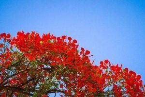 Hải Phòng dừng tổ chức lễ hội Hoa phượng đỏ 2021