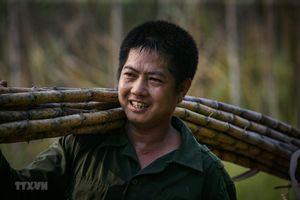 Người nông dân miệt mài trong mùa thu hoạch mía ở Tân Lạc