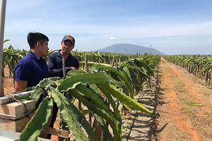 Bình Thuận: Đưa ứng dụng công nghệ cao vào sản xuất thanh long