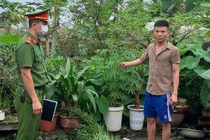 Quảng Ninh: Phát hiện một đối tượng trồng cần sa trong vườn nhà