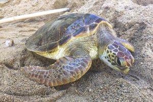 Hai người vận chuyển trái phép rùa biển bị xử mức án cao nhất