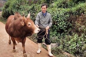 Xuất hiện bệnh viêm da nổi cục trên đàn gia súc ở Điện Biên