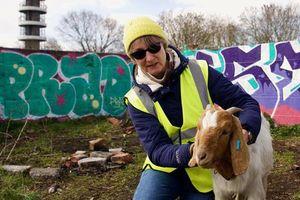Chuyện về những chú dê nuôi trong thành thị tại Anh