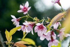 Đắm đuối trước vẻ đẹp hoa anh đào giữa núi rừng Tây Bắc