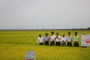 Doanh nghiệp cam kết hỗ trợ giá lúa giống cho nông dân Quảng Trị