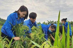 Thanh niên tình nguyện xuống ruộng giúp dân khắc phục lúa đổ do mưa lớn