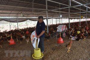 Tận dụng tối đa nguyên liệu trong nước để hạ giá thức ăn chăn nuôi