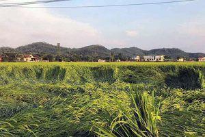 Mưa lớn làm hàng nghìn ha cây trồng bị đổ rạp