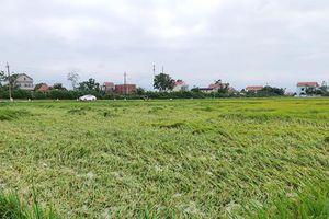 Lệ Thủy, Quảng Trạch: Trên 1.500 ha lúa bị ngã, đổ do mưa giông