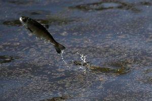 Hạn hán nghiêm trọng, California di dời 15 triệu cá hồi bằng xe tải